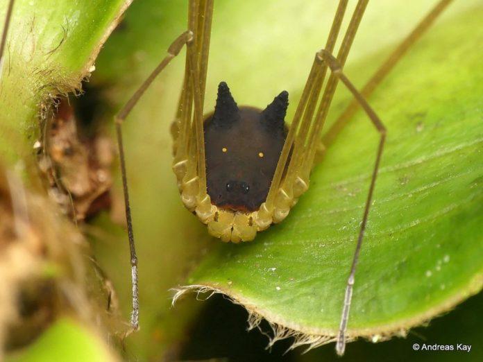Araña cara de perro
