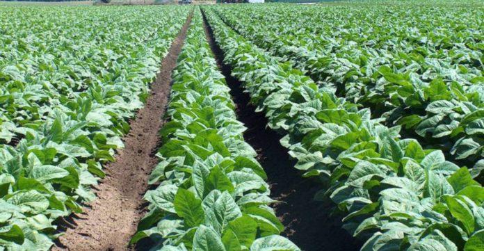 Plantación-de-tabaco-Burley