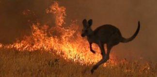 Incendios-en-Australia-canguro-huyendo
