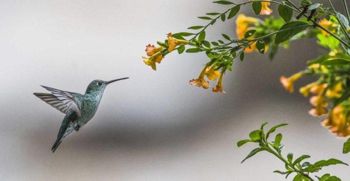 Picaflor-en-una-flor